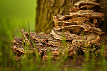 Baumpilz von photoart-hartmann