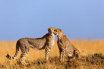 Cheetah mom with daughter, Masai Mara, Kenya by Maggy Meyer