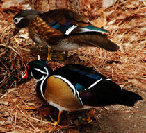 Wood Ducks by Kathleen Stephens
