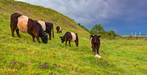 Galloway Cattle by Keld Bach