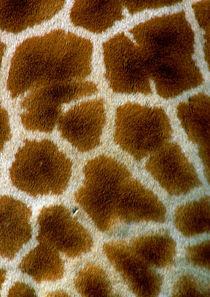 Giraffe von Doug McRae