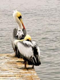 pelican snooze  by picadoro