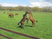 rangkämpfe (pferde) by elfriede zitas
