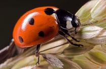Ladybird by Keld Bach