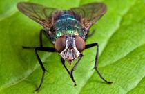 Greenbottle Fly by Keld Bach