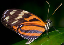 Tiger Longwing Butterfly by Keld Bach