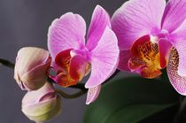 Orchidee by dag