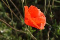 Mohnblüte im Sonnenschein von Ina Hartges