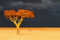 'Acacia in the sunshine, before the great rain started' by Maggy Meyer