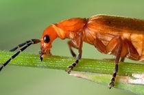Red Soldier Beetle by Keld Bach
