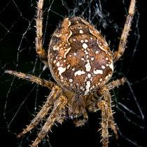 Garden Spider by Keld Bach
