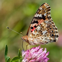 Painted Lady Posing von Keld Bach