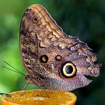 Owl Butterfly Feeding von Keld Bach