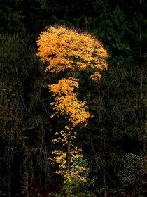 Herbstlaub wie Feuerwerk by Paul Artner