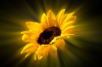 leuchtende Sonnenblume von Barbara  Keichel