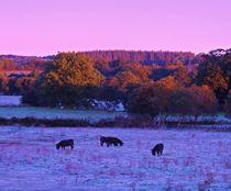 Dawn Donkeys by John McCoubrey