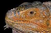 Iguana Profile by Keld Bach