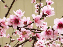 Peach Tree Blossom 1 by Kaaren LeBeck
