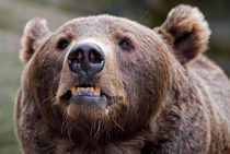 Angry Bear von Keld Bach