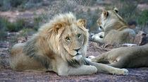 Löwen in der Wildnis by Sarah Kastner