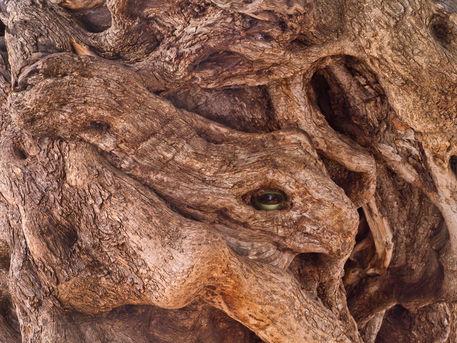 Olivenbaum-surreal