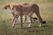 Mara-cheetah-young-two-three