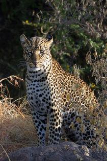 Leopard (Panthera pardus) von Ralph Patzel