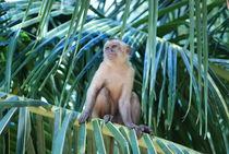 Capuchin monkey in his palm tree