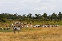 Zebra unter Störchen by Ralph Patzel