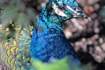 Hidden Peacock by Jessica Evans