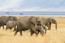 Afrikanische Elefanten von Ralph Patzel