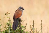 Afrikanischer Kuckuck (Centropus superciliosus) von Ralph Patzel
