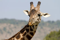 Giraffe (Giraffa camelopardalis) von Ralph Patzel