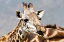 Giraffe (Giraffa camelopardalis) by Ralph Patzel