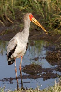 Nimmersatt (Mycteria ibis) von Ralph Patzel