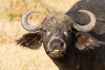 Afrikanischer Büffel (Syncerus caffer) von Ralph Patzel