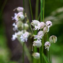 Silene vulgaris von kwiatek