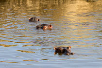 Flusspferde (Hippopotamus amphibius) von Ralph Patzel