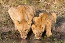 Löwen (Panthera leo) von Ralph Patzel