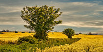 Fields of Gold by tkphotography