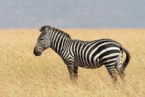 Steppenzebra (Equus quagga) von Ralph Patzel