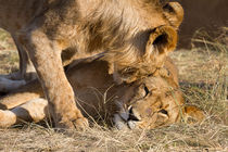 Löwen (Panthera leo) by Ralph Patzel