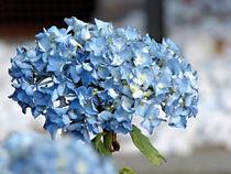 blaue Hortensie von misslu