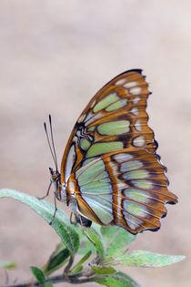 Butterfly von Ralph Patzel