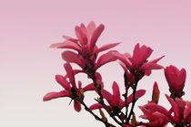 Magnolia in Pink by Kathleen Stephens
