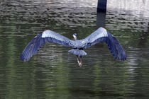 Great Blue Heron in Flight by Kathleen Stephens