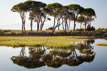 Strofilia pines reflected on lake by Christos Andronis