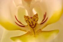 Orchidee von Klaus Dolle