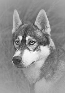 Siberian Husky by Doug McRae