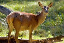 Red Deer Hind von Keld Bach